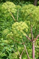 angelica europea fitoterapia amenorrea