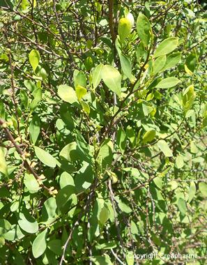 coca-foglie