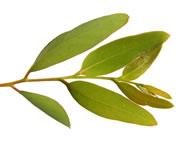 Sciroppo d'eucalipto