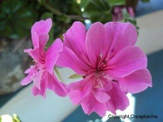 pelargonium-geranium-du-Cap1