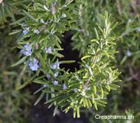romarin-plante-creapharma-2015