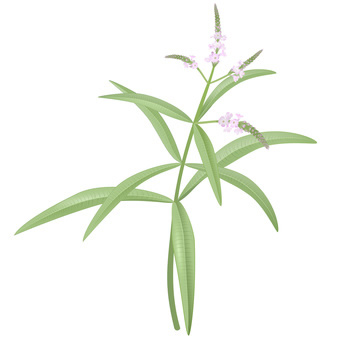 verveine-odorante-photo-fotolia