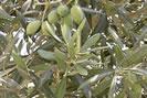 Tisana di foglie di ulivo